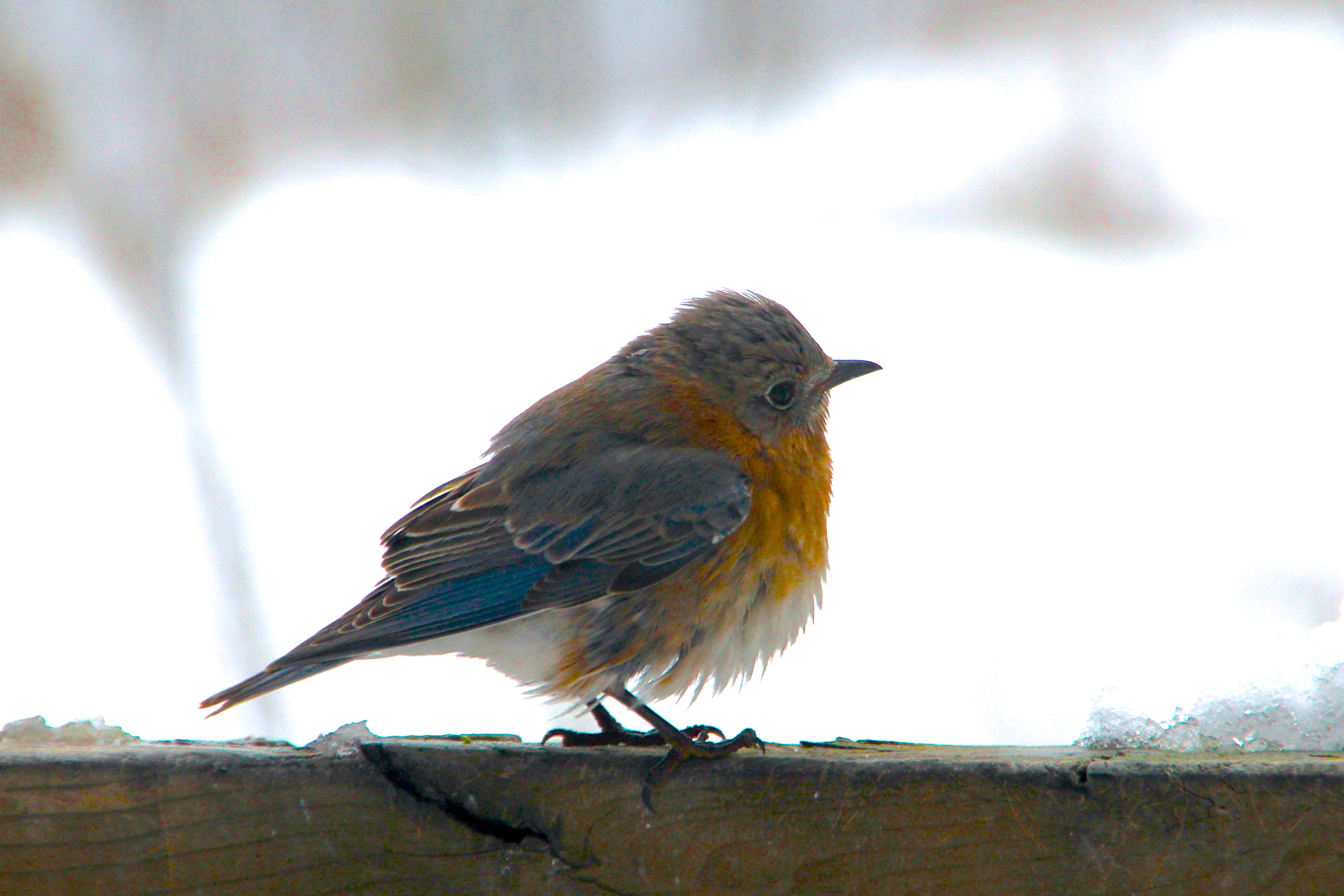 Bluebird fluffed to keep warm