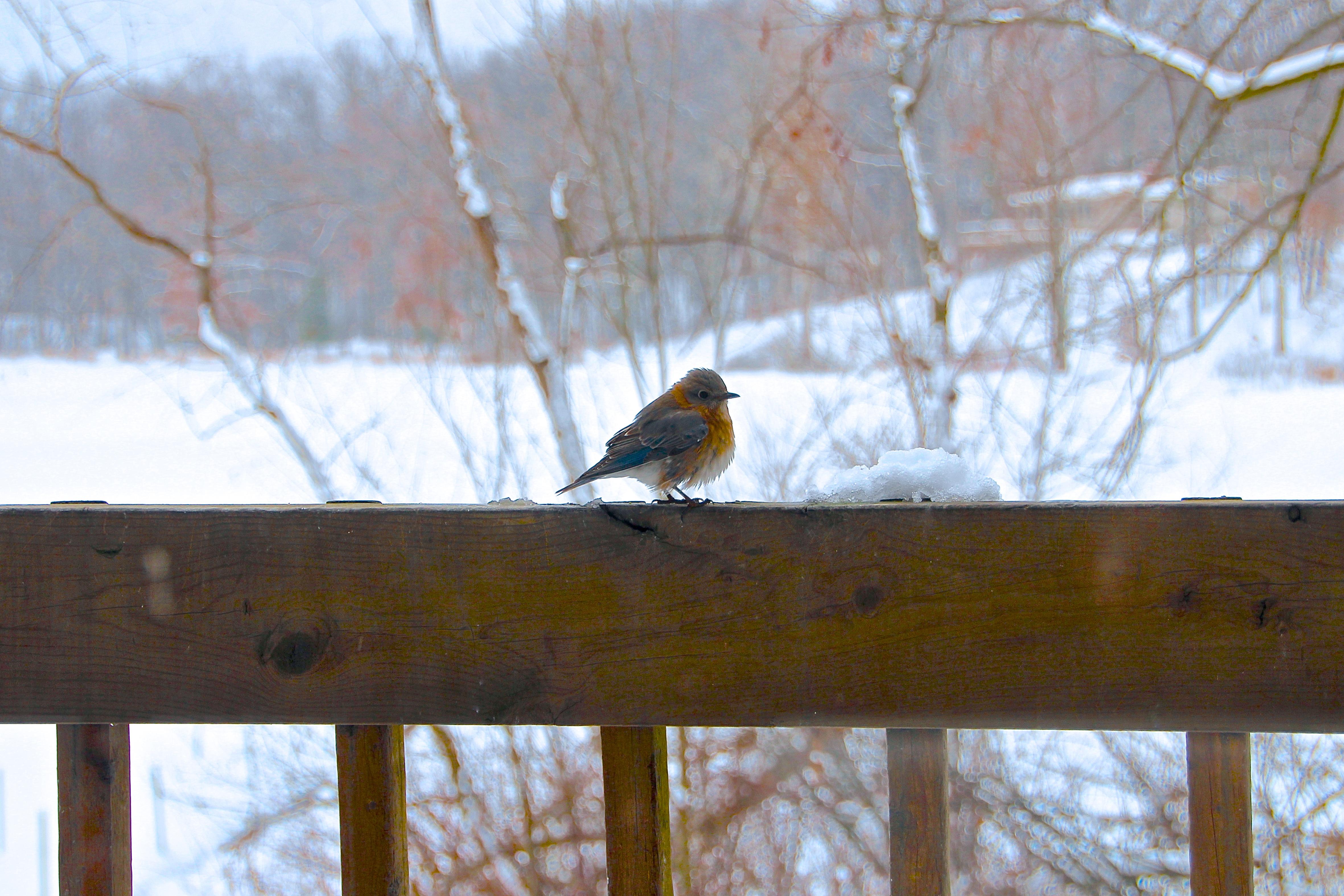 Bluebird on snowy day