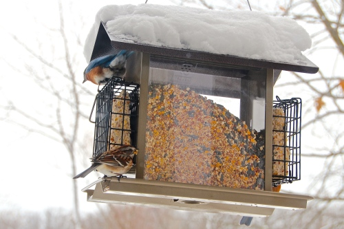 Bluebird on top of feeder 2
