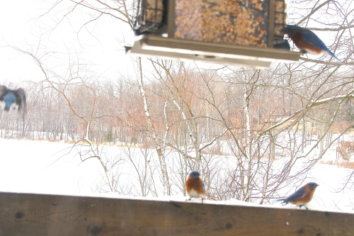 Bluebirds waiting their turn at feeder 2