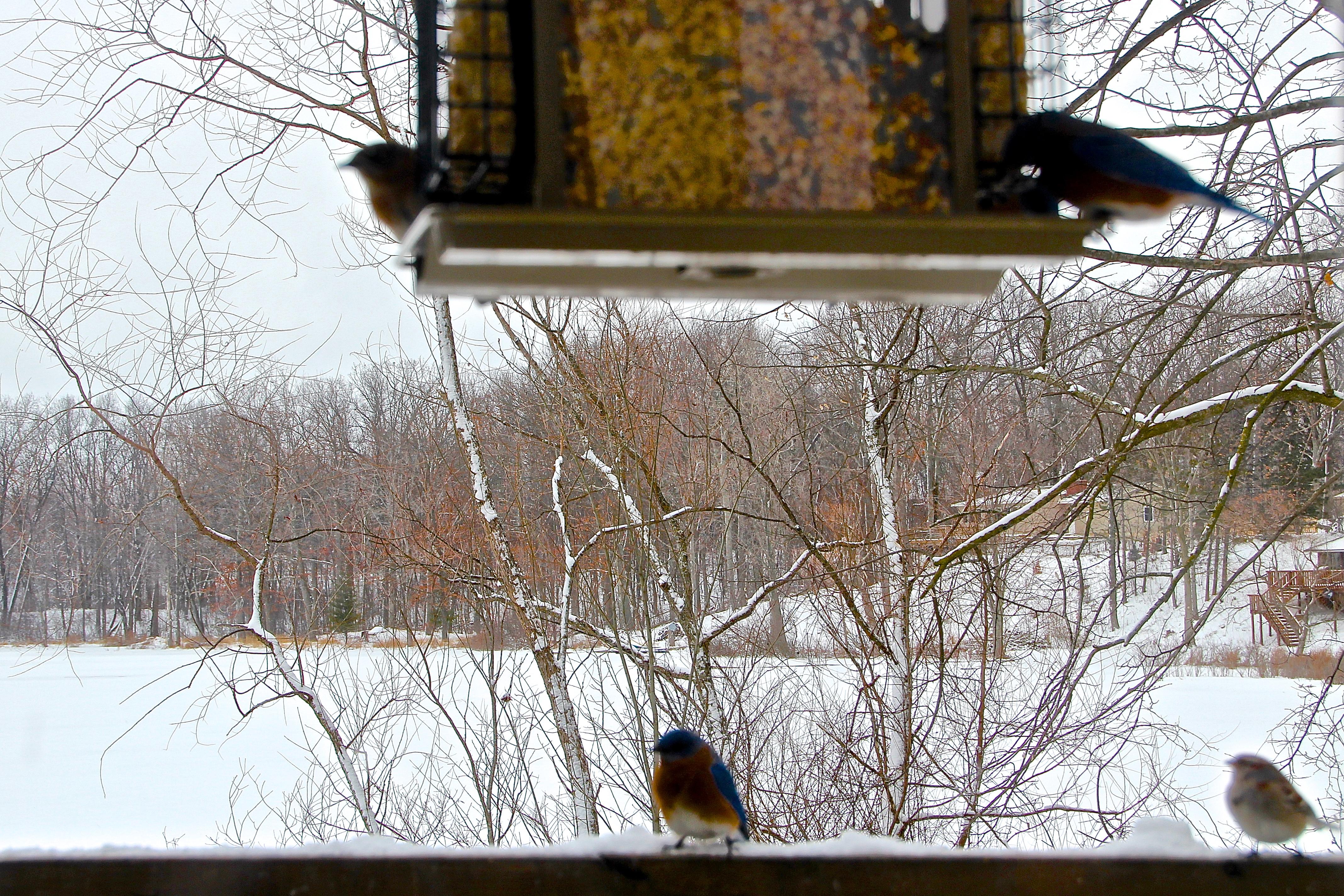 Bluebirds waiting their turn at feeder