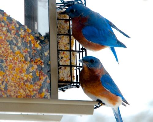 Bluebirds+30 . 02.1.13