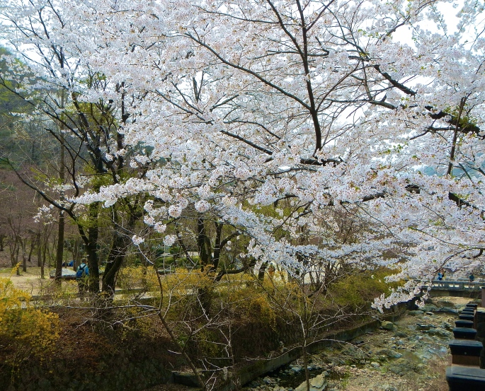 Cherry Blossom Festival Soyosan Mt.