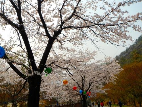 Cherry Festival Soyosan Mt.