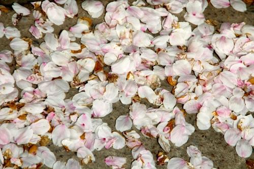 Cherry Petals on Ground