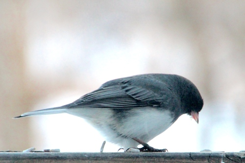 Close up of Junco