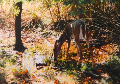 Deer Drinking from Stream copy