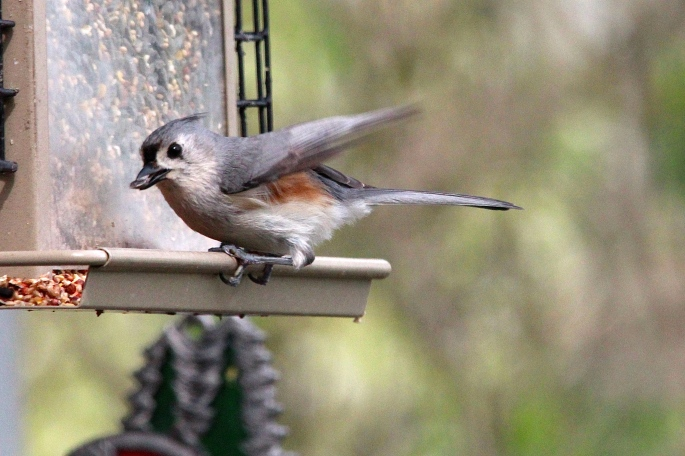 Face and under wing Tufted Titmouse 5.13.14
