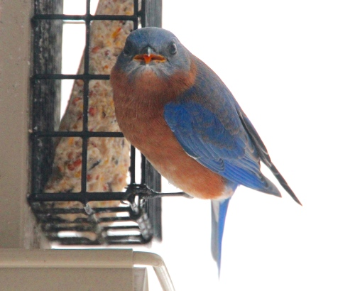 Female Bluebird at Feeder