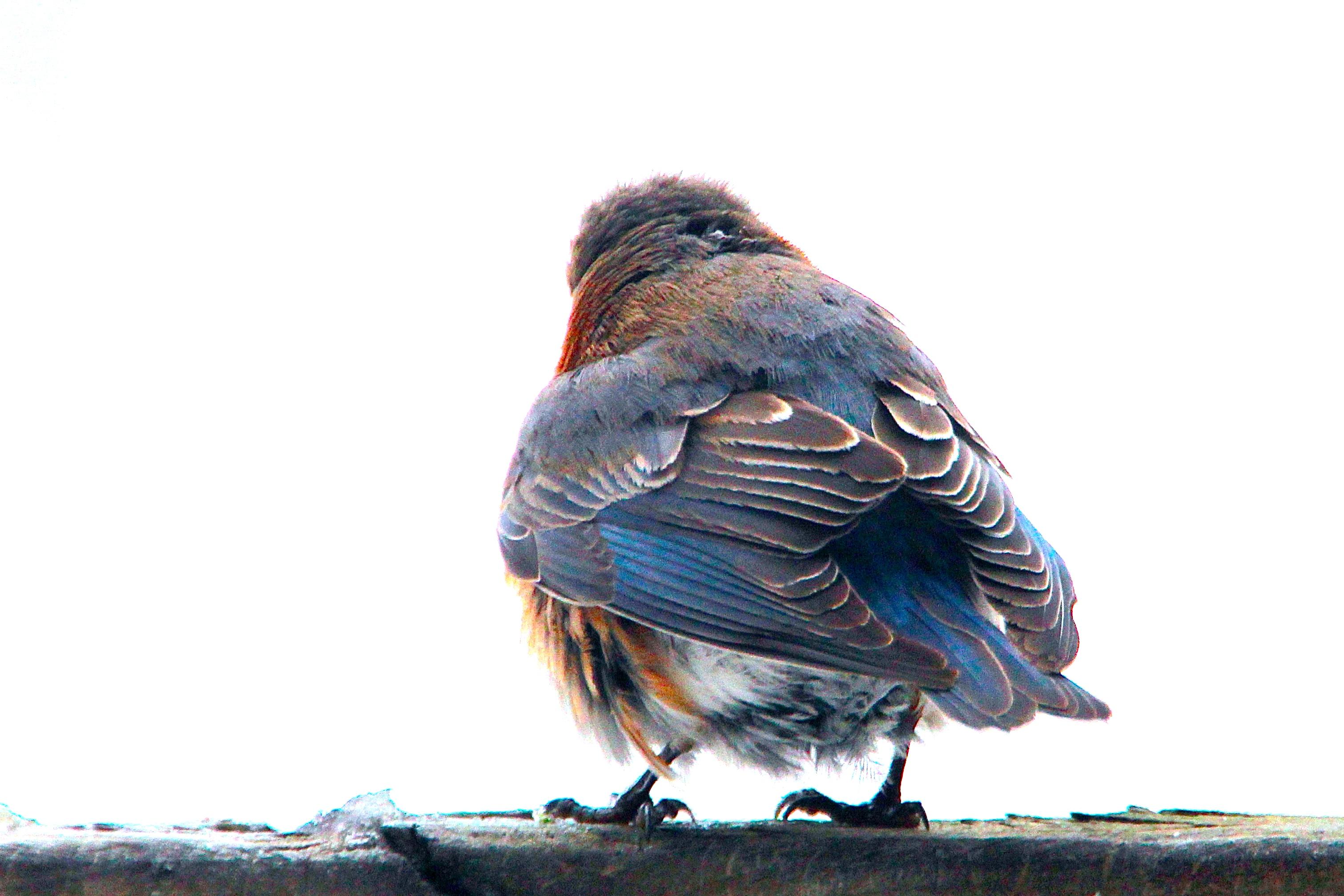 Fledglin Female