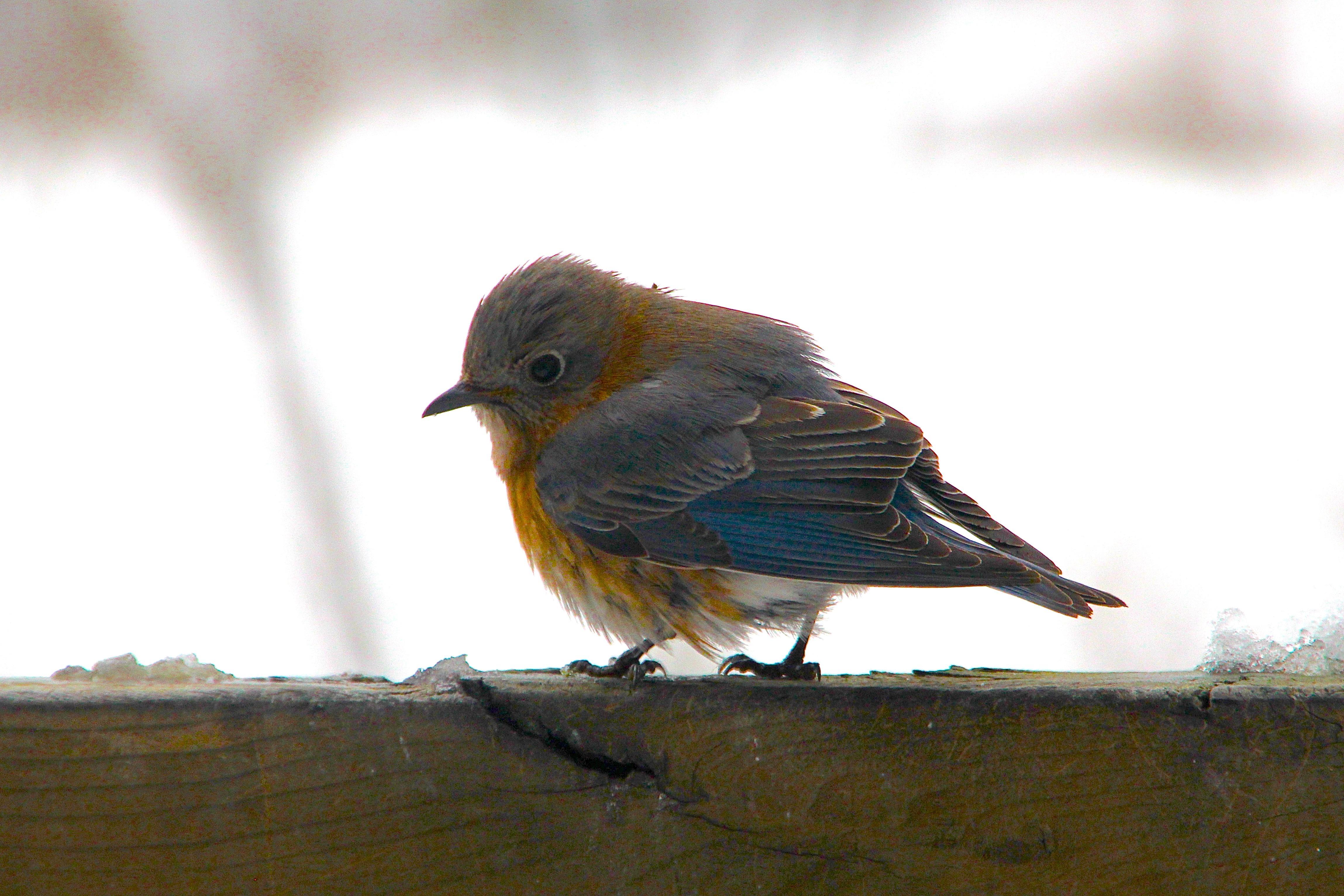 Fledgling Bluebird