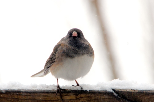 Junco all fluffed up in zero degree weather