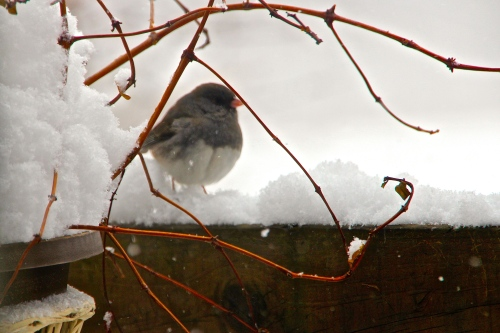 Junco behind plant