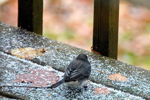 Junco. First Snows