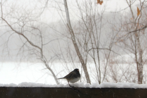 Junco in snow on lake