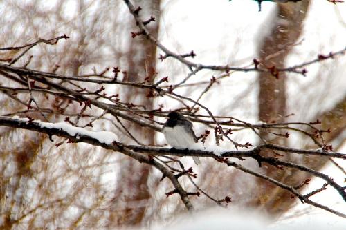 Junco in Snowstorm 3.19.13