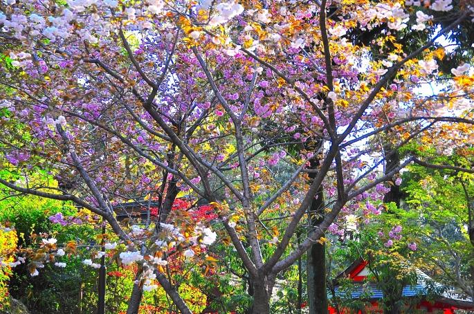 Kinkaku-ji (金閣寺  3