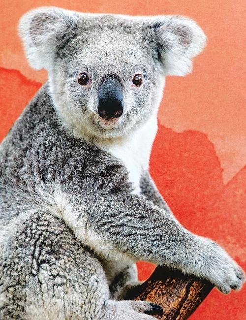 Koala from brochure