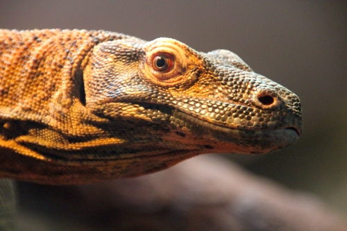 Lizard at San Diego Zoo