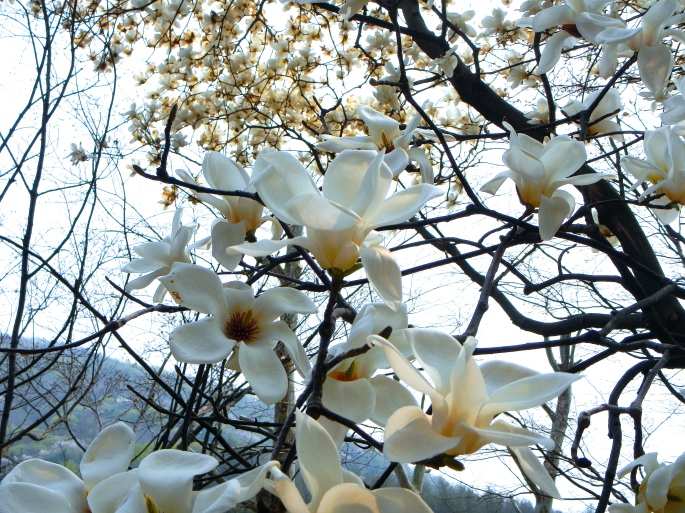 Magnolias and Cherry Blossoms