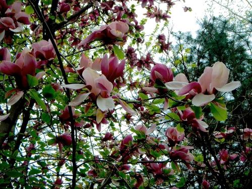 Magnolias in South Korea