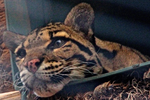 Mainland Clouded Leopard
