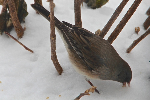 Northern Junco pecking through snow