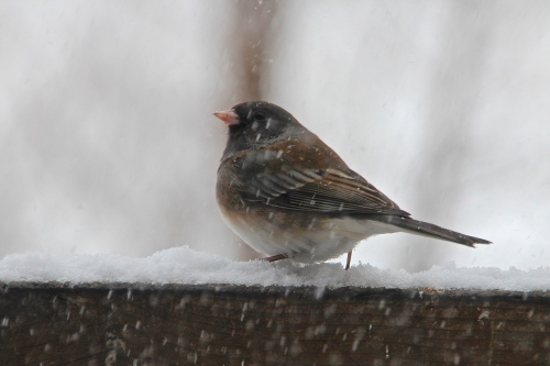 Northern Junco Snowy Day! 2.24.15