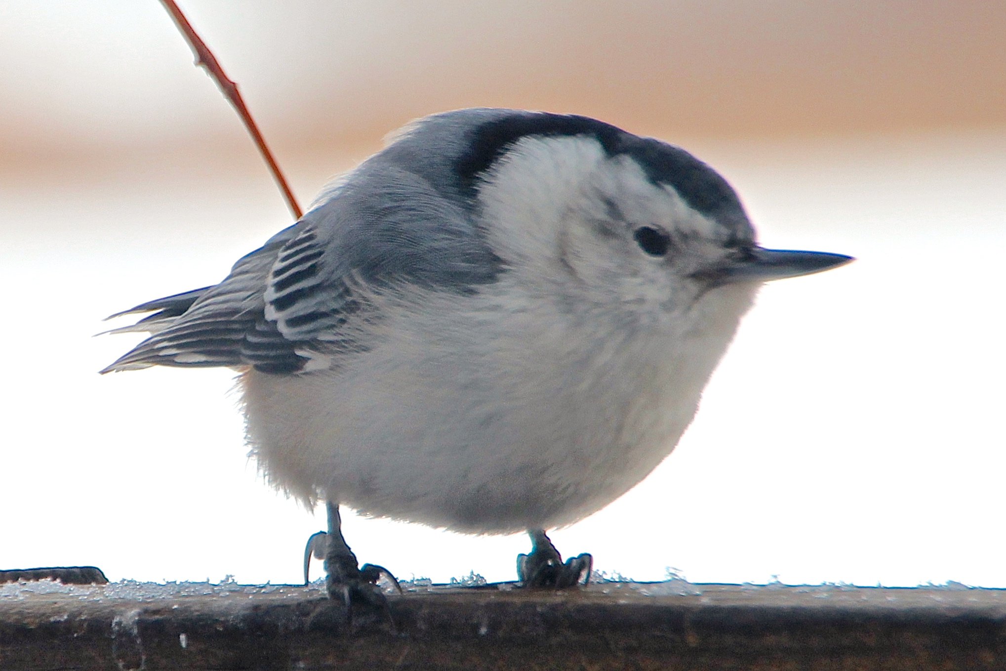 Nuthatch about to defend his right to feeder