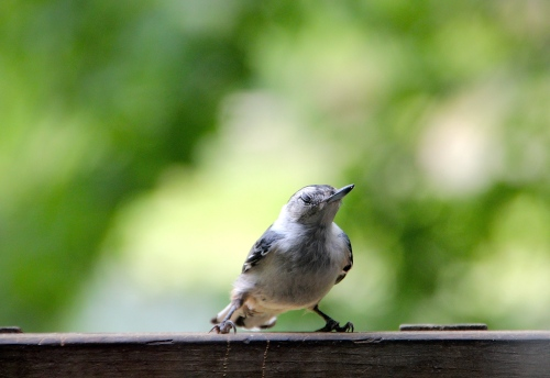 Nuthatch Baby