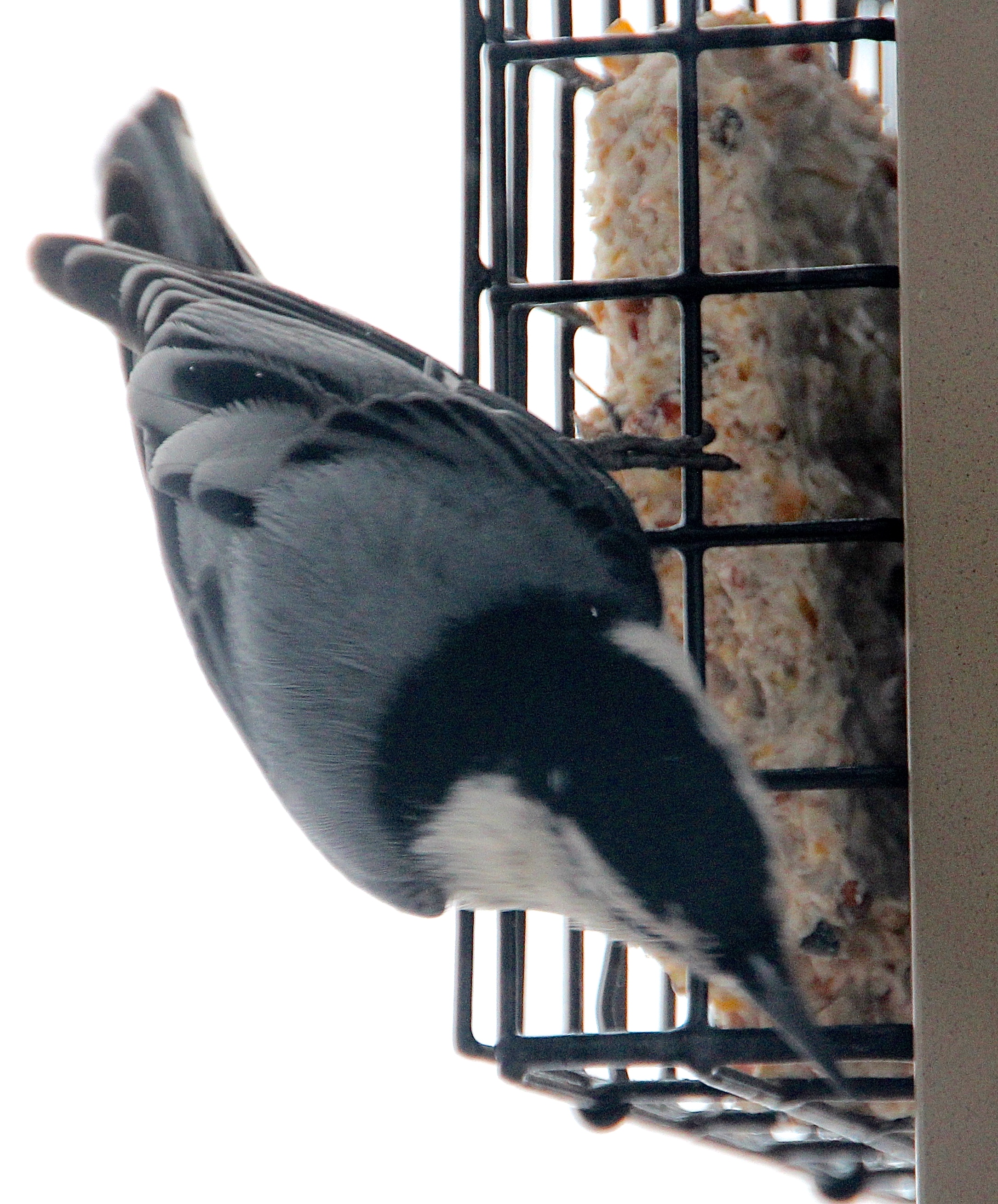 Nuthatch Backview