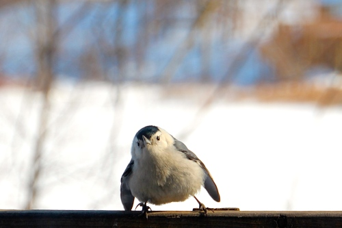 Nuthatch dancing 2