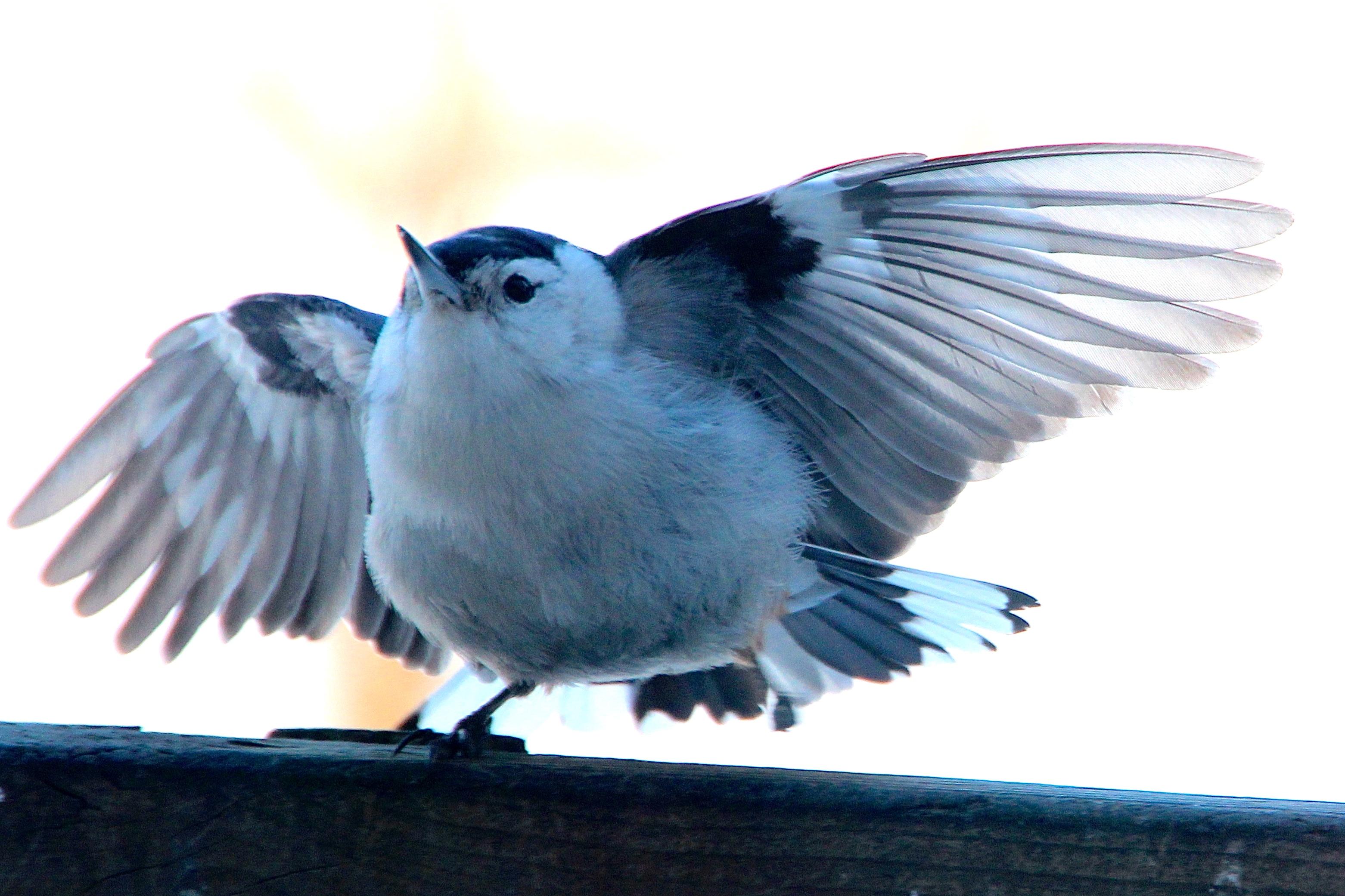 Nuthatch defending feeder 3.6.15