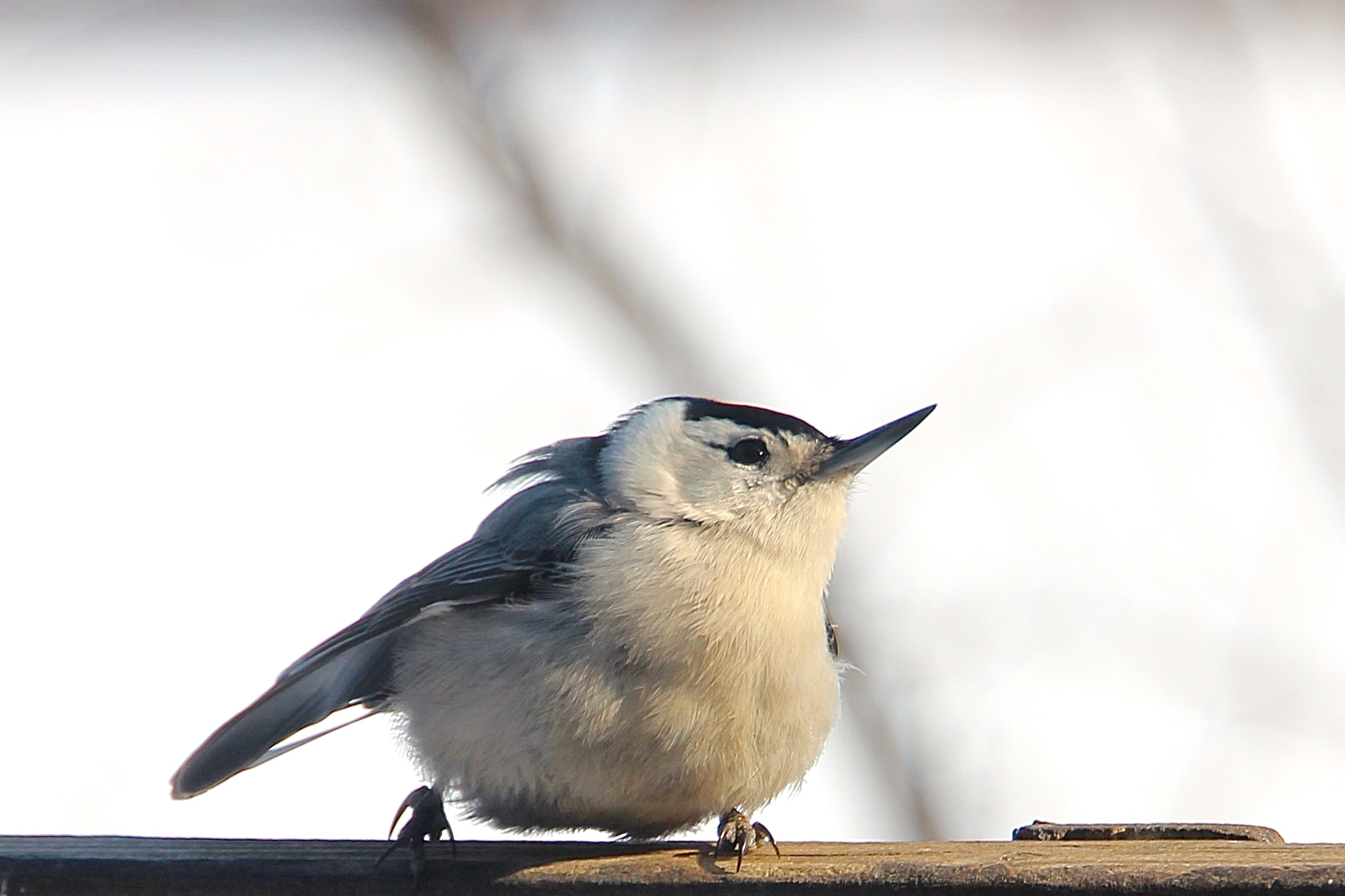 Nuthatch. Hackles up! 3.5.15+