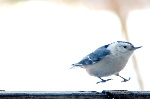 Nuthatch landing 2.23.15