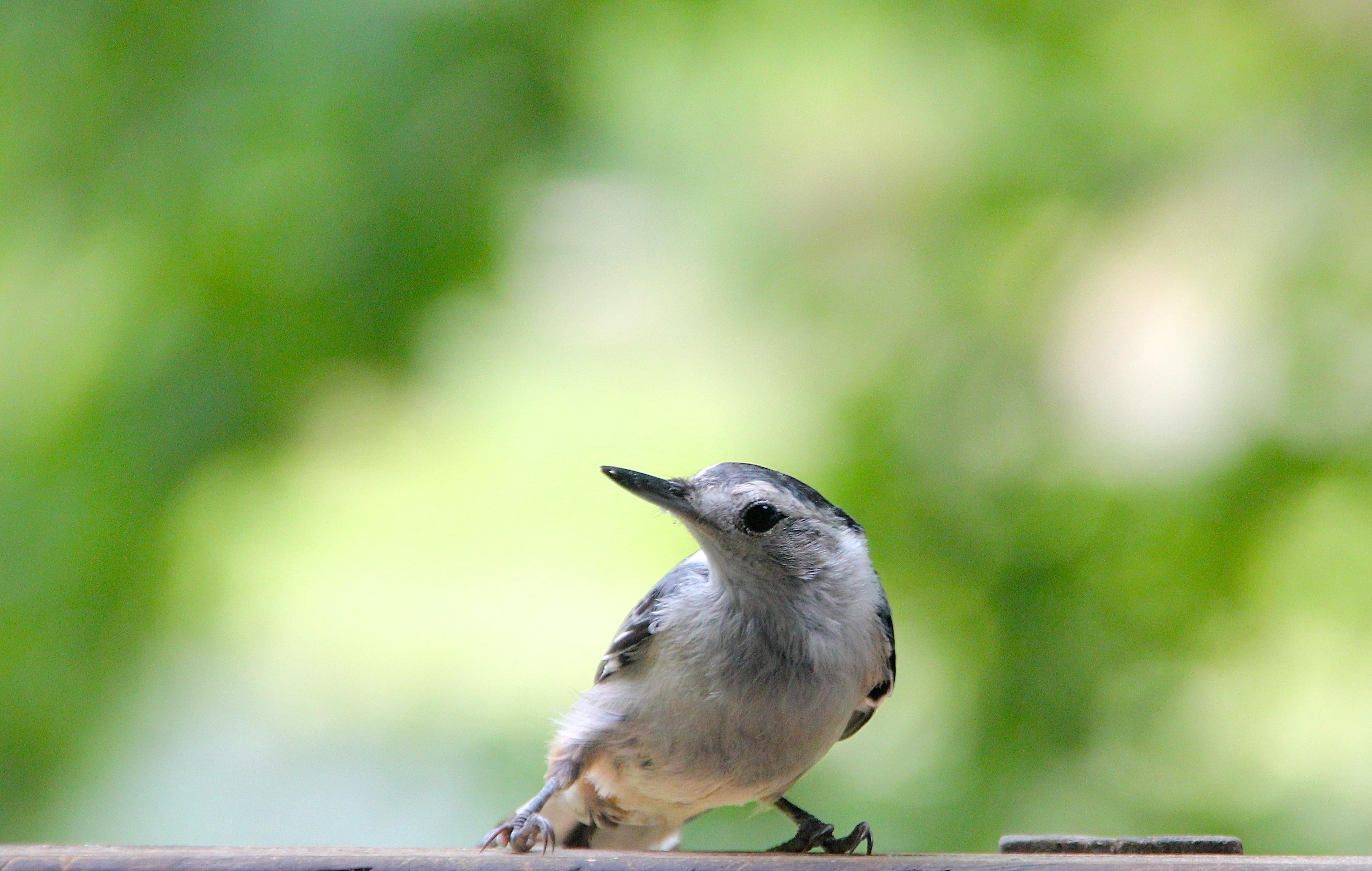 Nuthatch long beak
