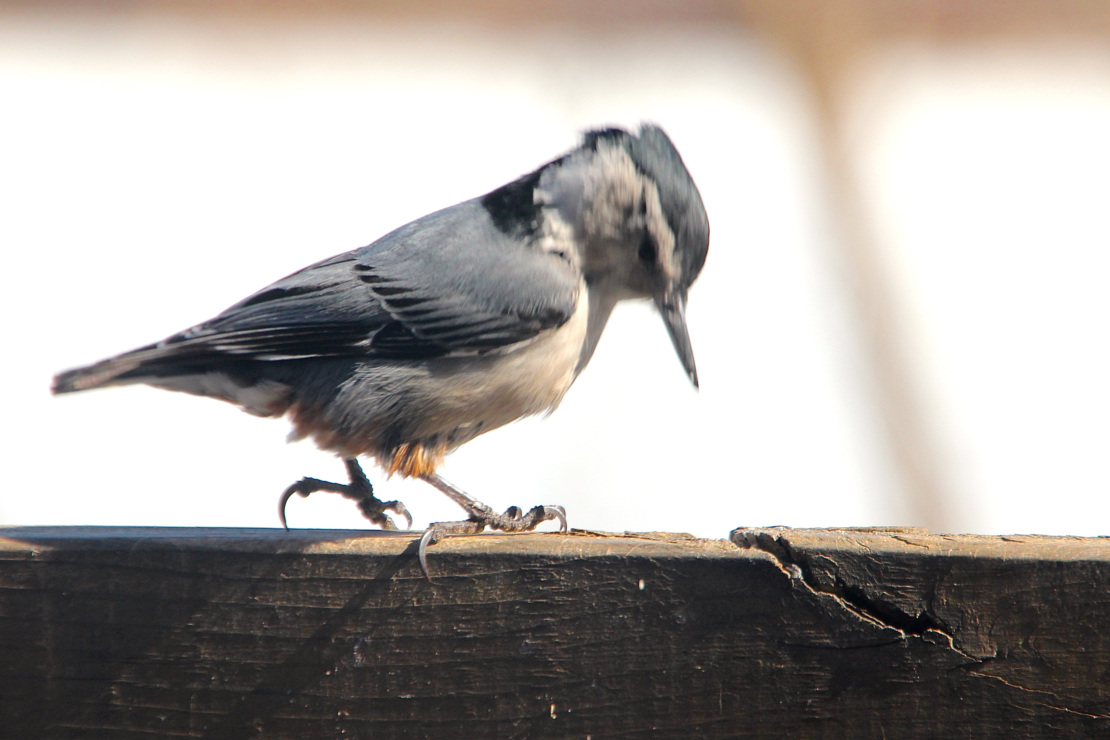 Nuthatch pecking like a woodpecker