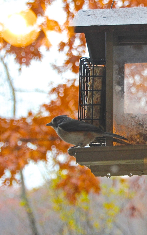 Nuthatch rainy fall day