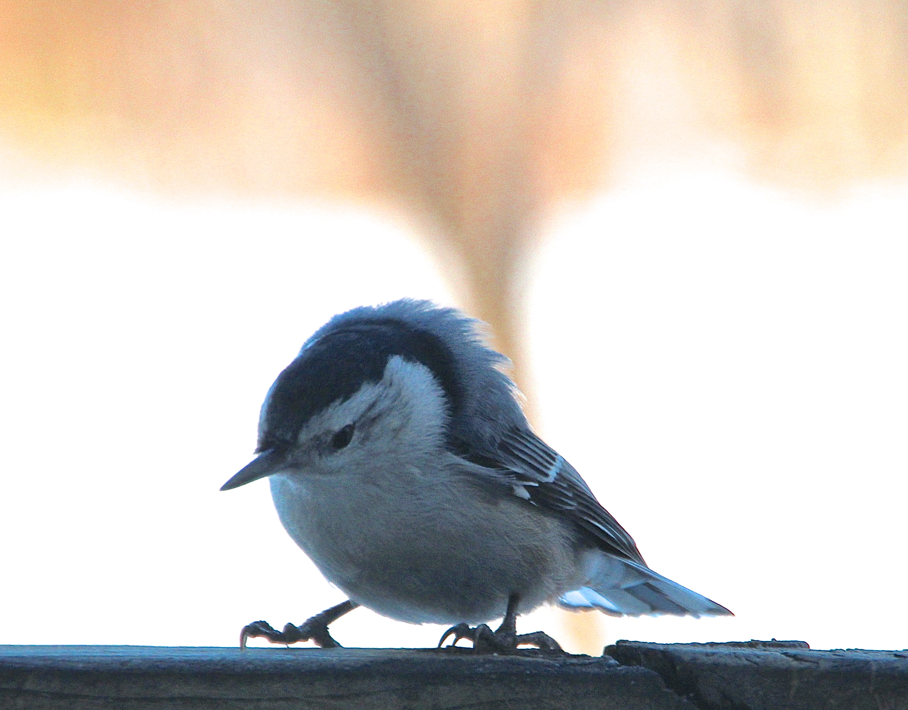 Nuthatch Ruffled Pinfeathers! 3.9.15