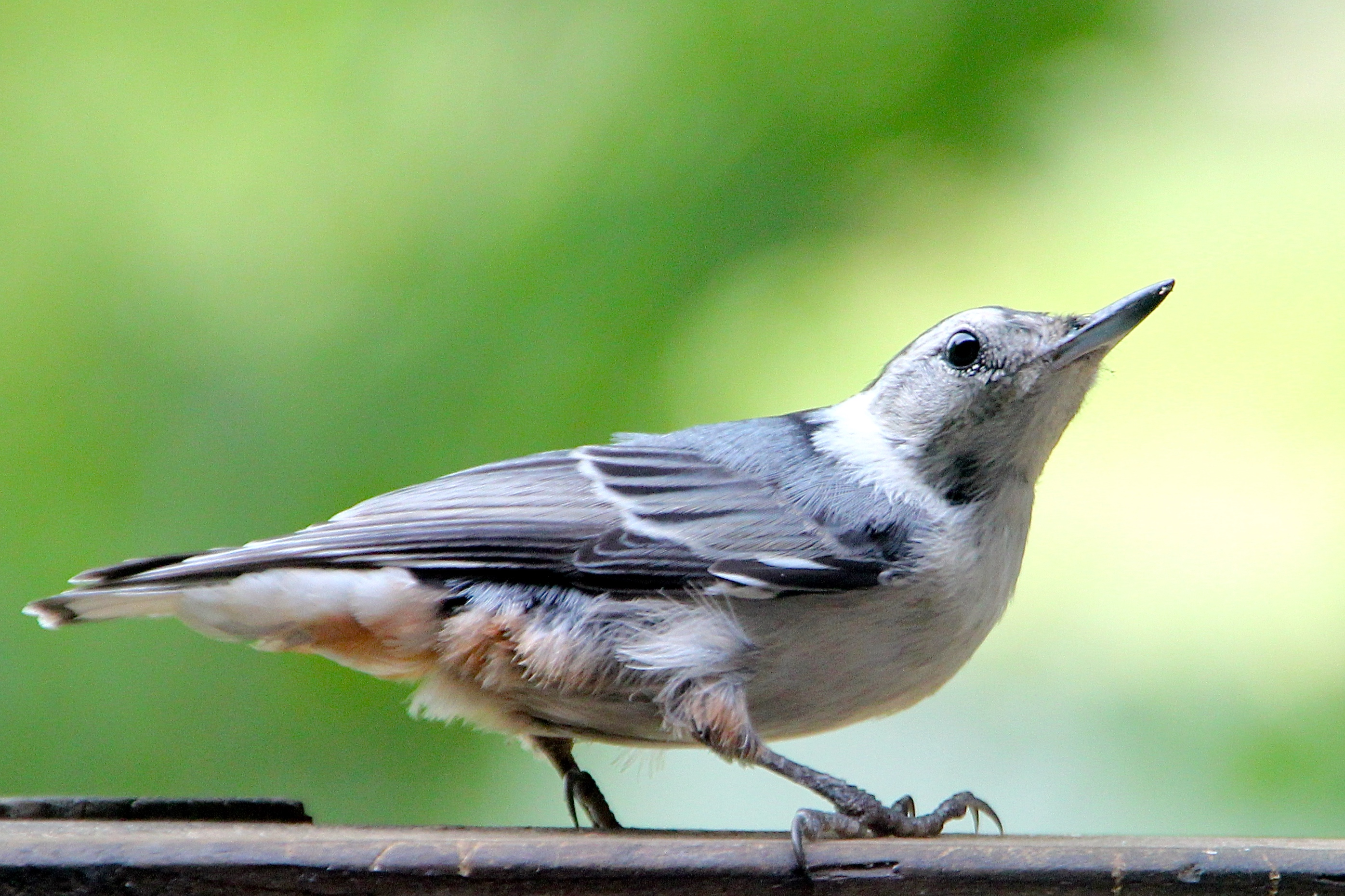 Nuthatch Summer profile