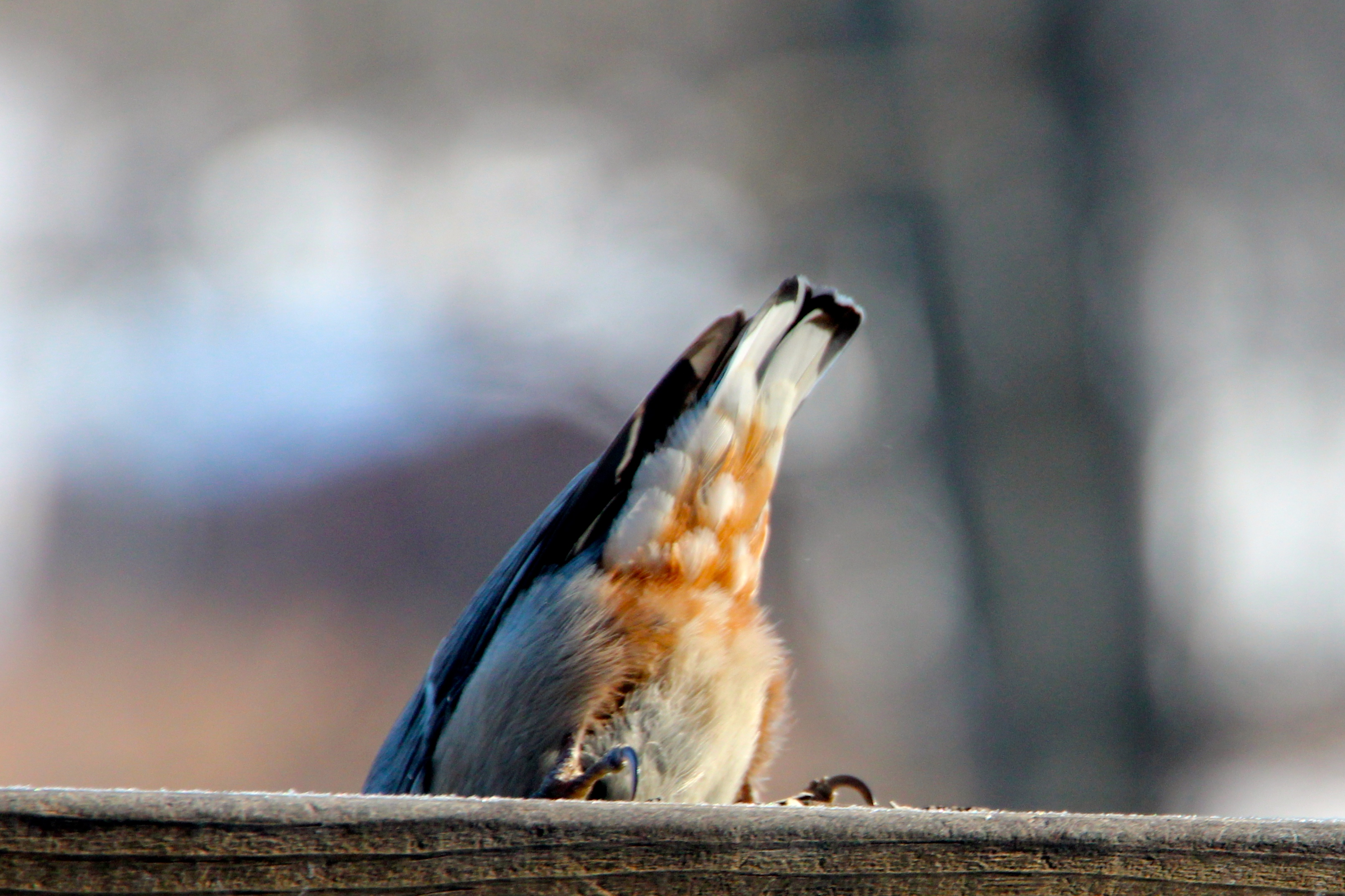 Nuthatch Tail feathers 2.23.15