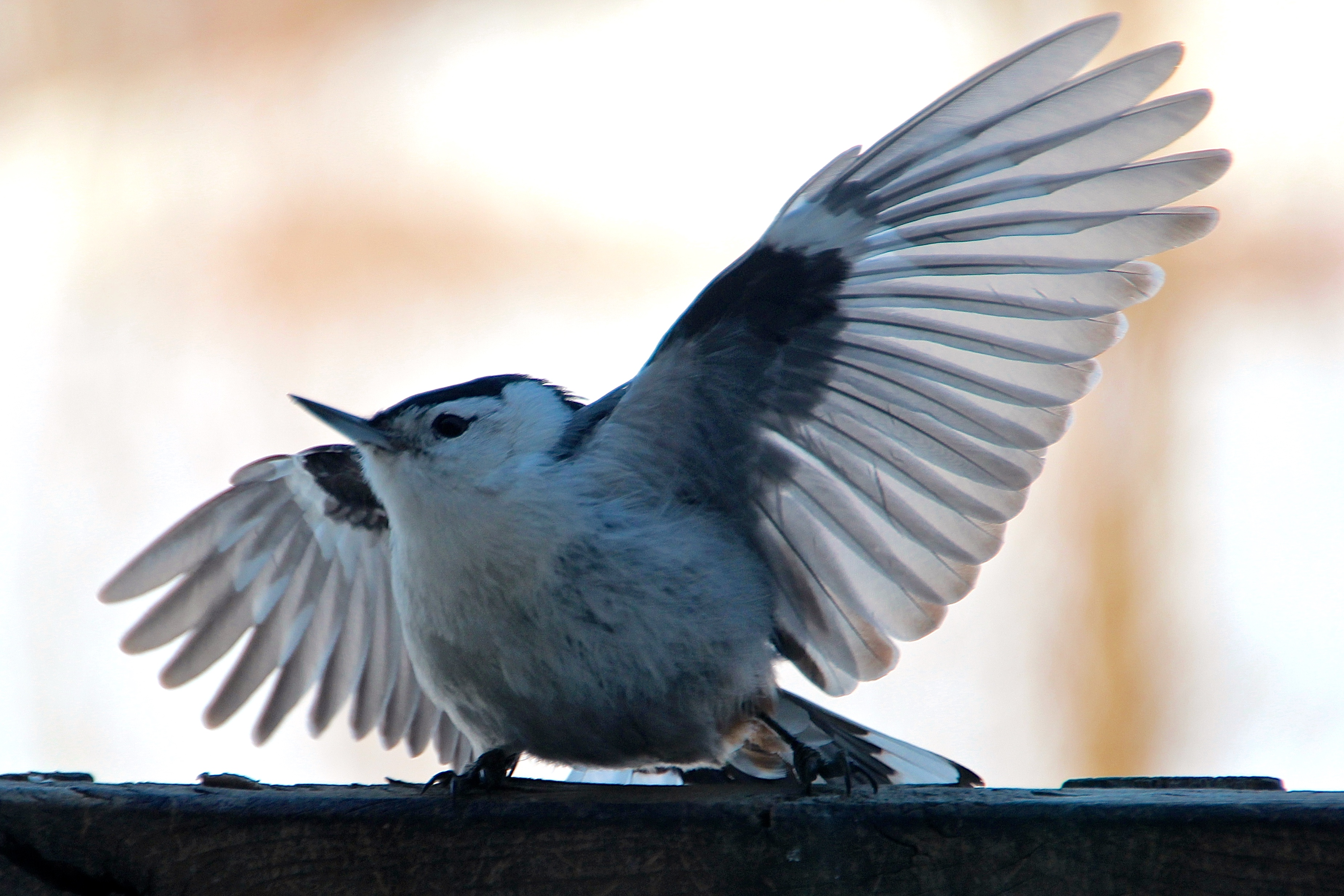 Nuthatch trying to drive off pigeon 3.6.15