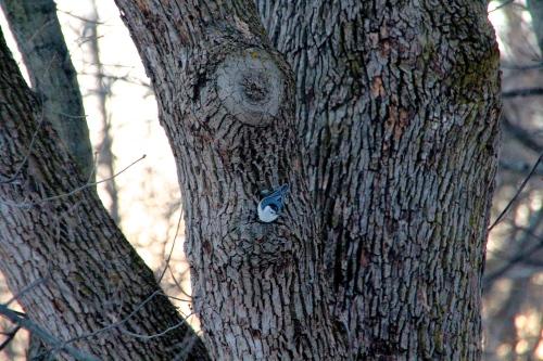 Nuthatch working way down tree 03.12.15