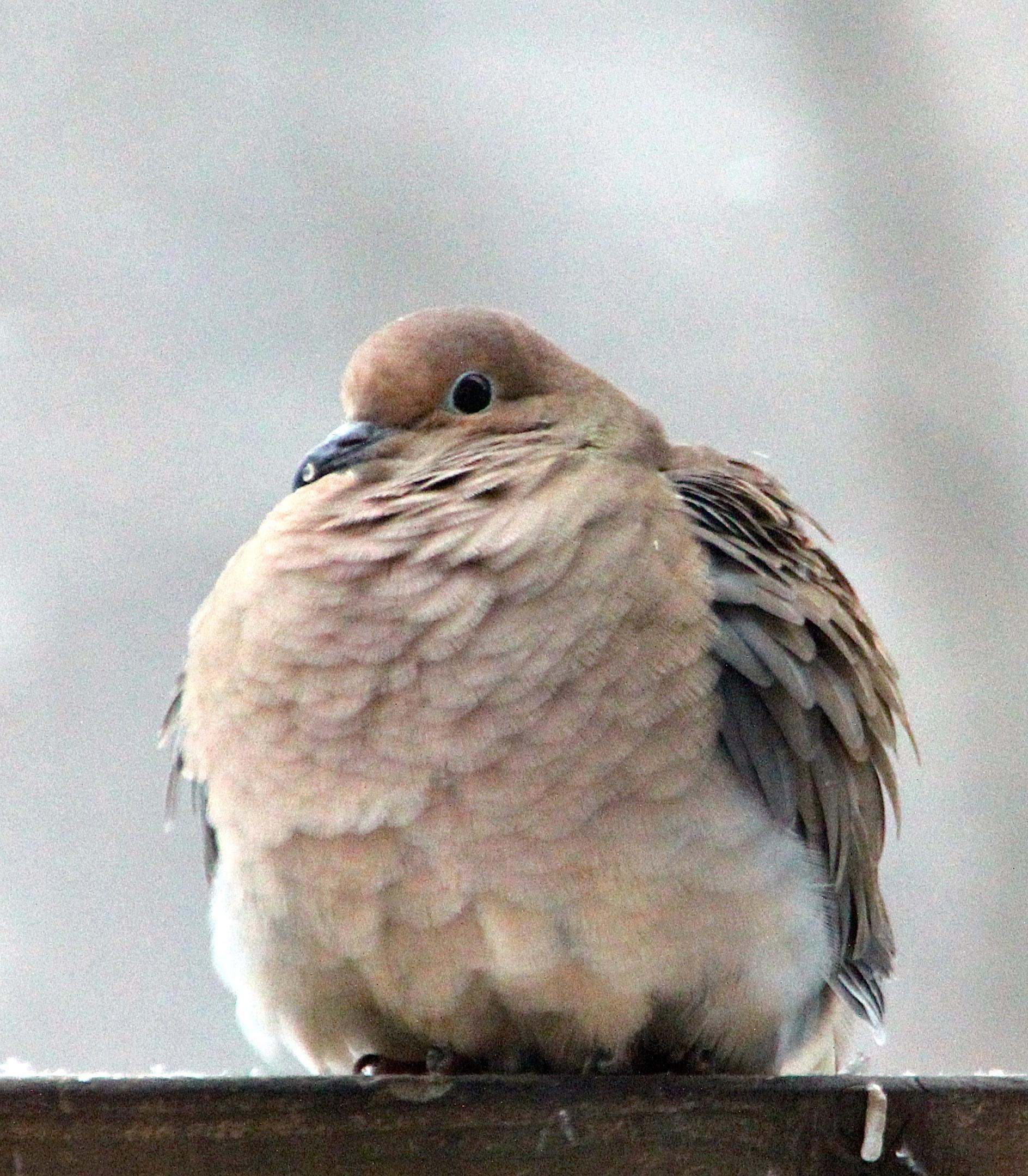 Pigeon Fluffed up