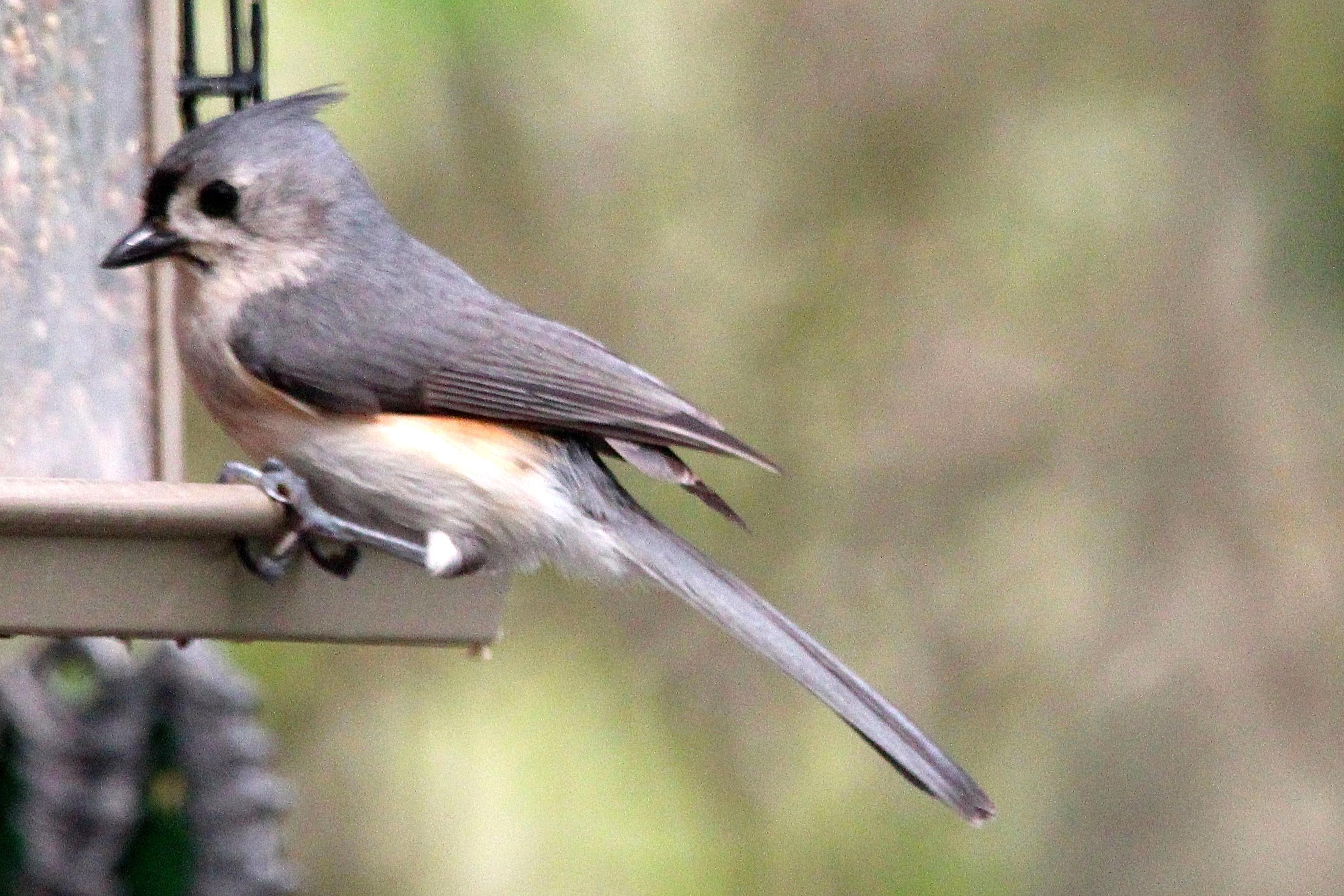 Profile of Titmouse at Bird Feeder
