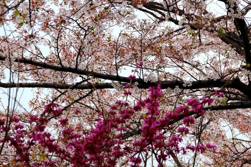 Seoul Cherry Blossom Festival 1