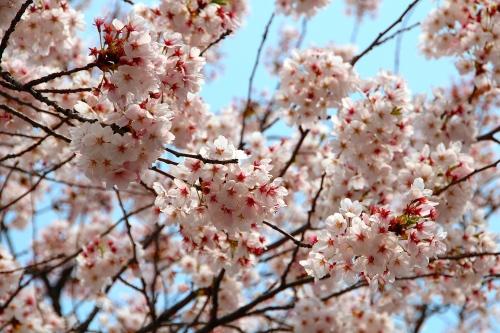 Seoul Cherry Blossom Festival 14