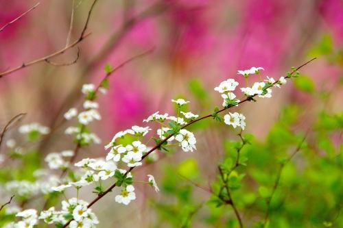 Seoul Cherry Blossom Festival 2