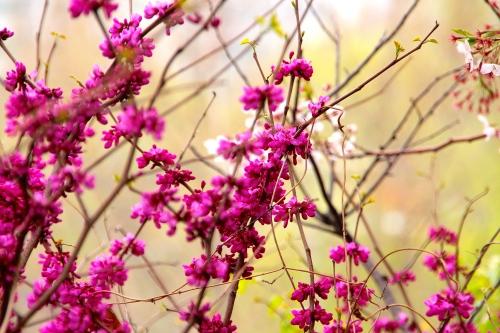 Seoul Cherry Blossom Festival 3
