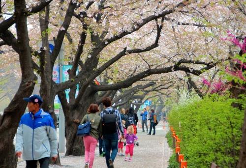 Seoul Cherry Blossom Festival 4